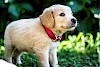 Golden Retriever Welpe mit rotem Halsband - © CC0 - Pixabay - SmBerG